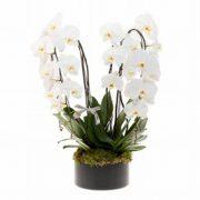 Orquidea Branca Dupla